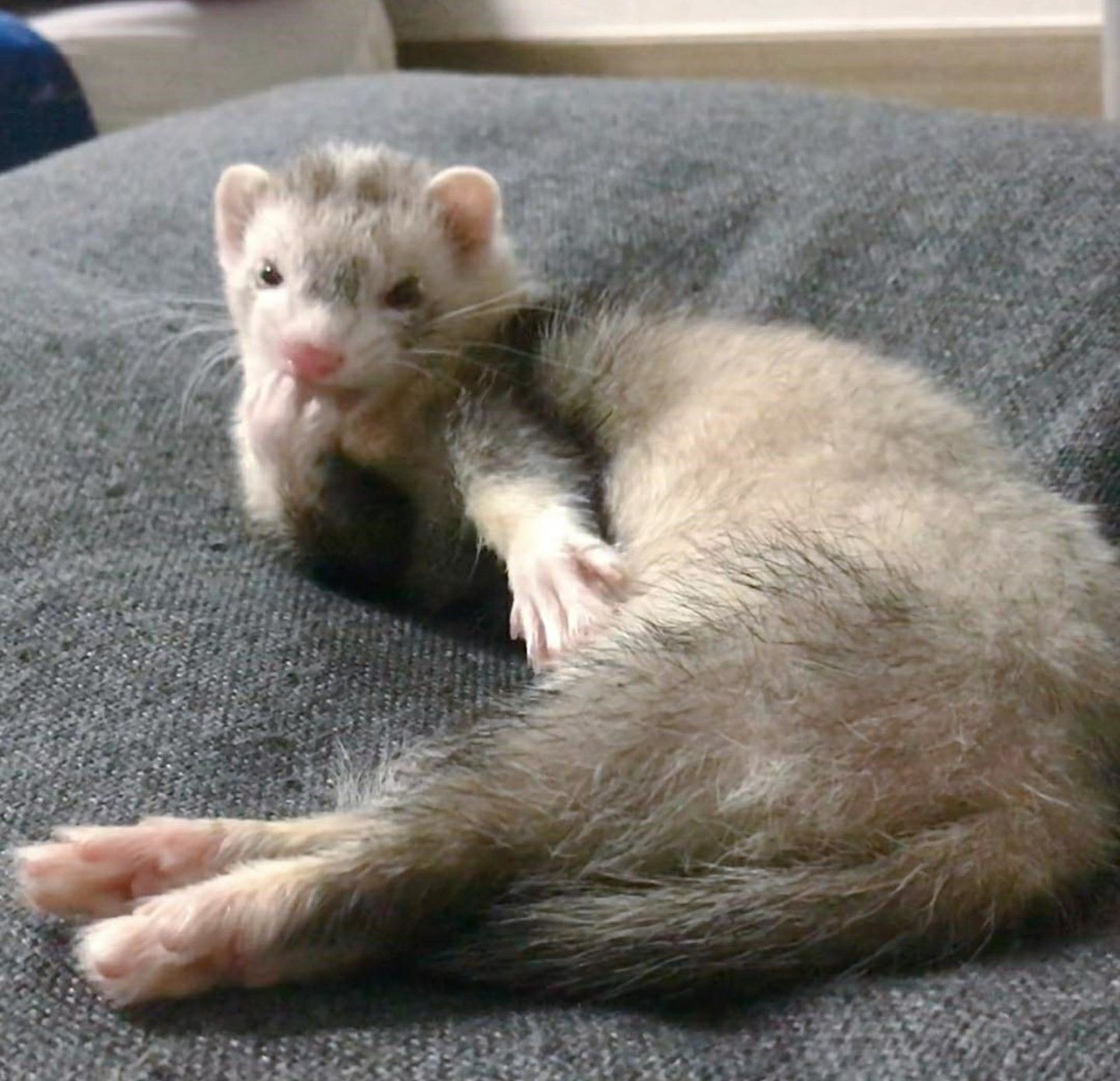 Paint Me Like Your French Girls Funny Ferrets Baby Ferrets