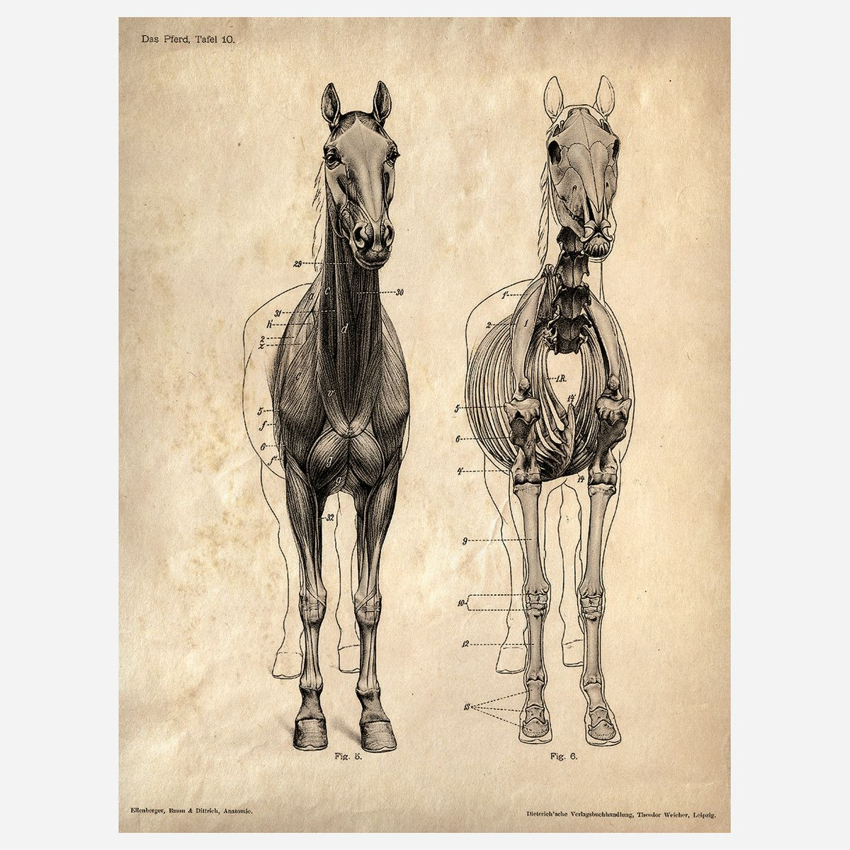 Horse Anatomy Print by Curious Prints | My Tack Room | Pinterest ...