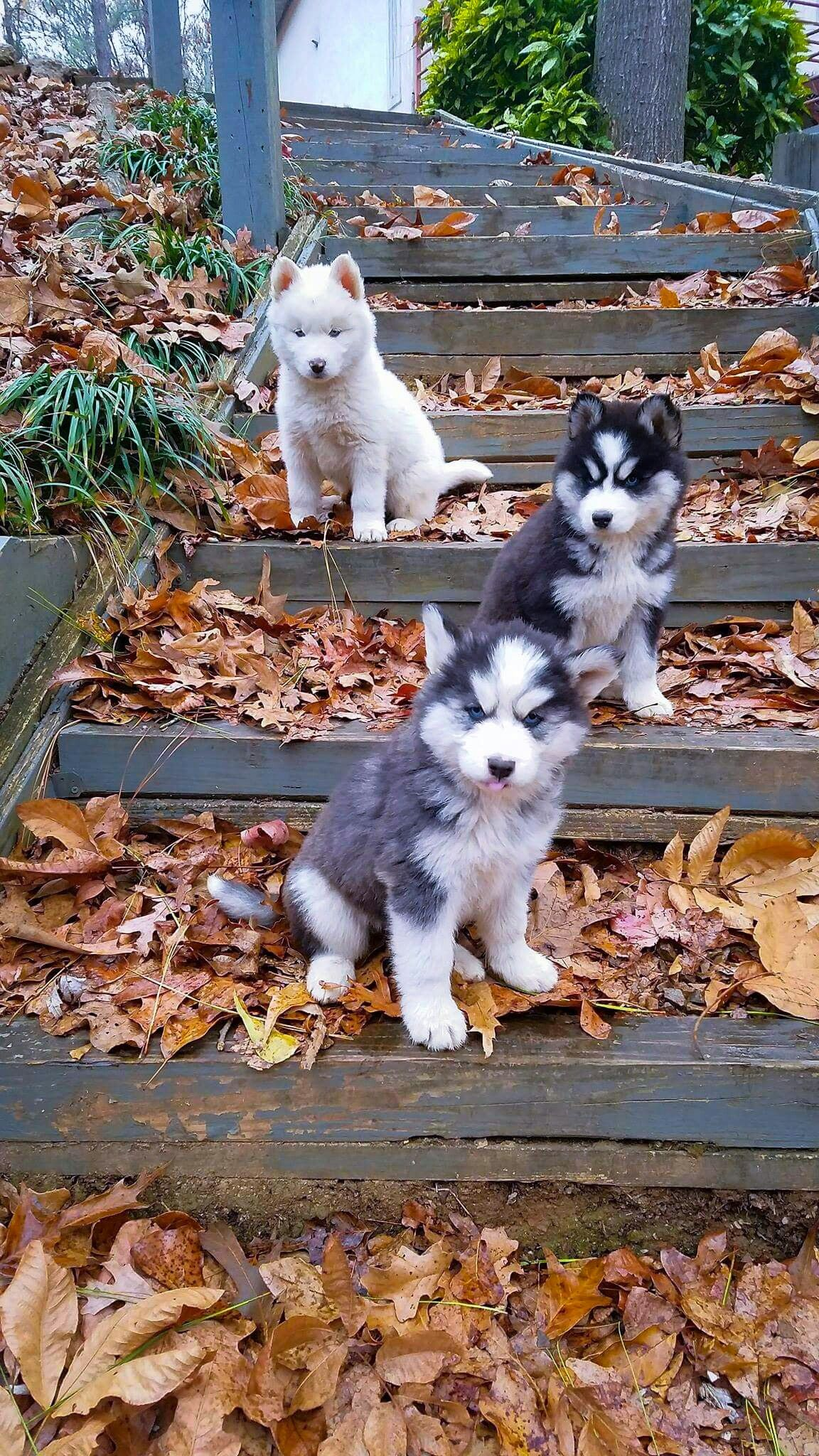 Pin By Lesa Bolman On We Love Our Huskies Puppies Siberian