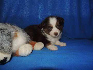Mini Toy Aussies Puppies For Sale Akc Miniature Australian Shepherds Karyon Texas Animaux