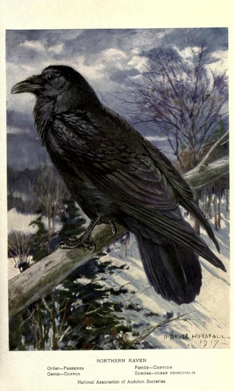 Common Northern Raven 1917, R. Bruce Horsfall.