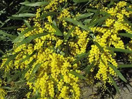 Image result for zig zag wattle