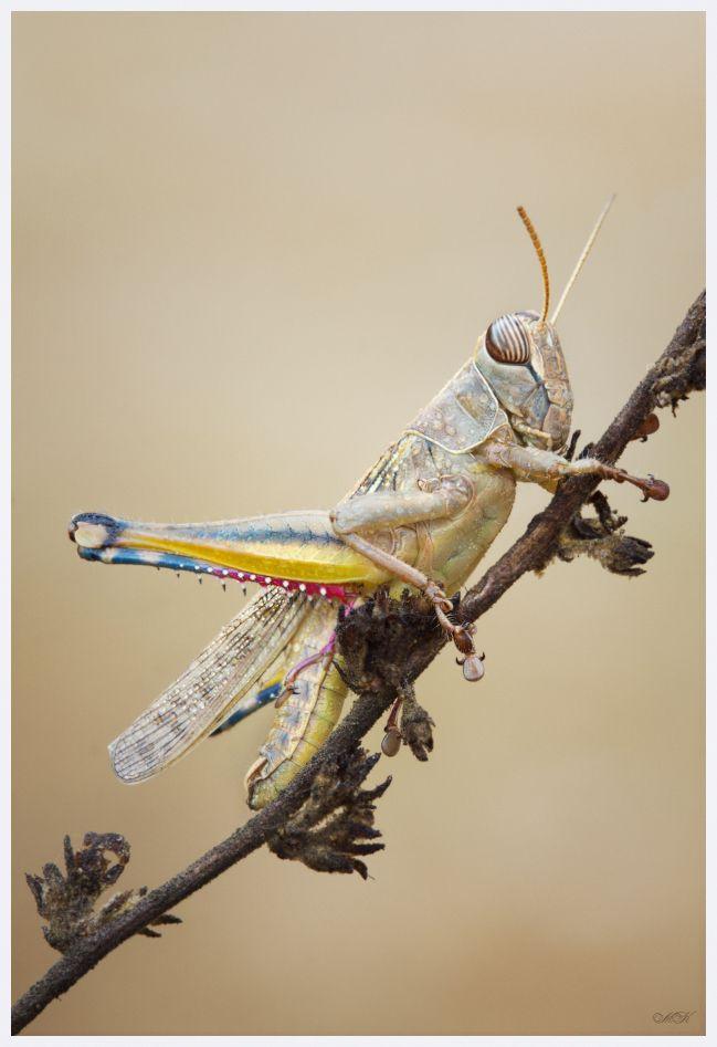 #Cavallette | #Grasshopper .. potrei morire !!! Orthoptera