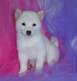 Shiba Inu's are fearless companions. I want an all white