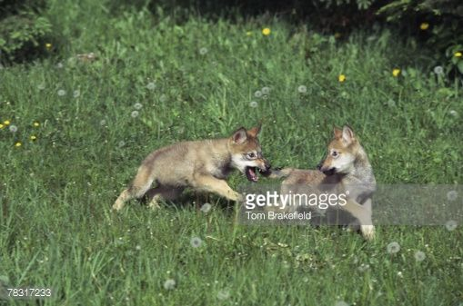 78317233-wolf-pups-playing-gettyimages.jpg (509×337)