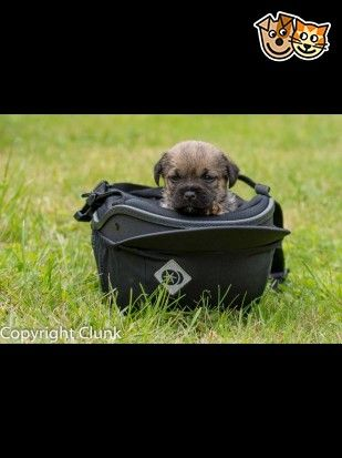Kc Registered Border Terrier Puppies Ely Cambridgeshire