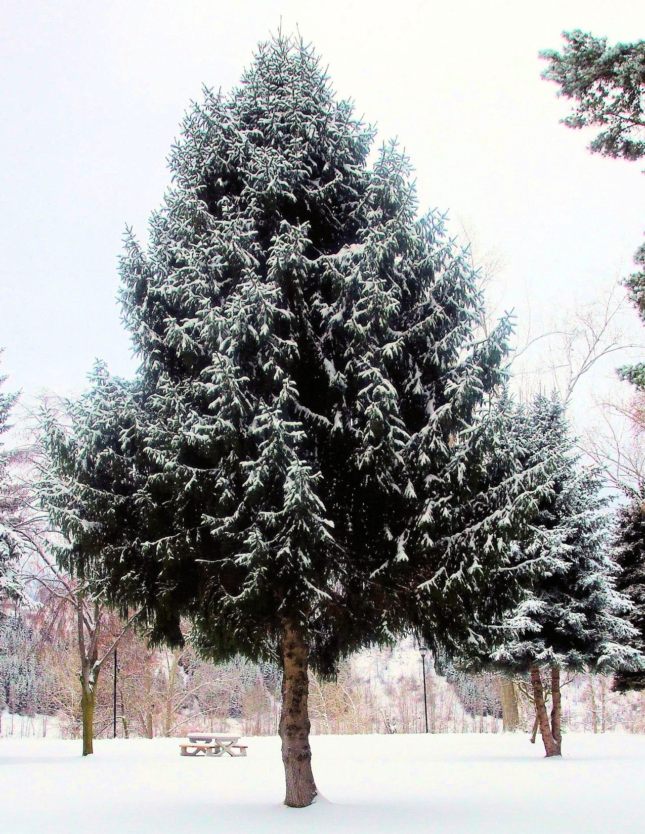 Evergreens And Snow 3: A single, well-shaped evergreen tree dusted with snow