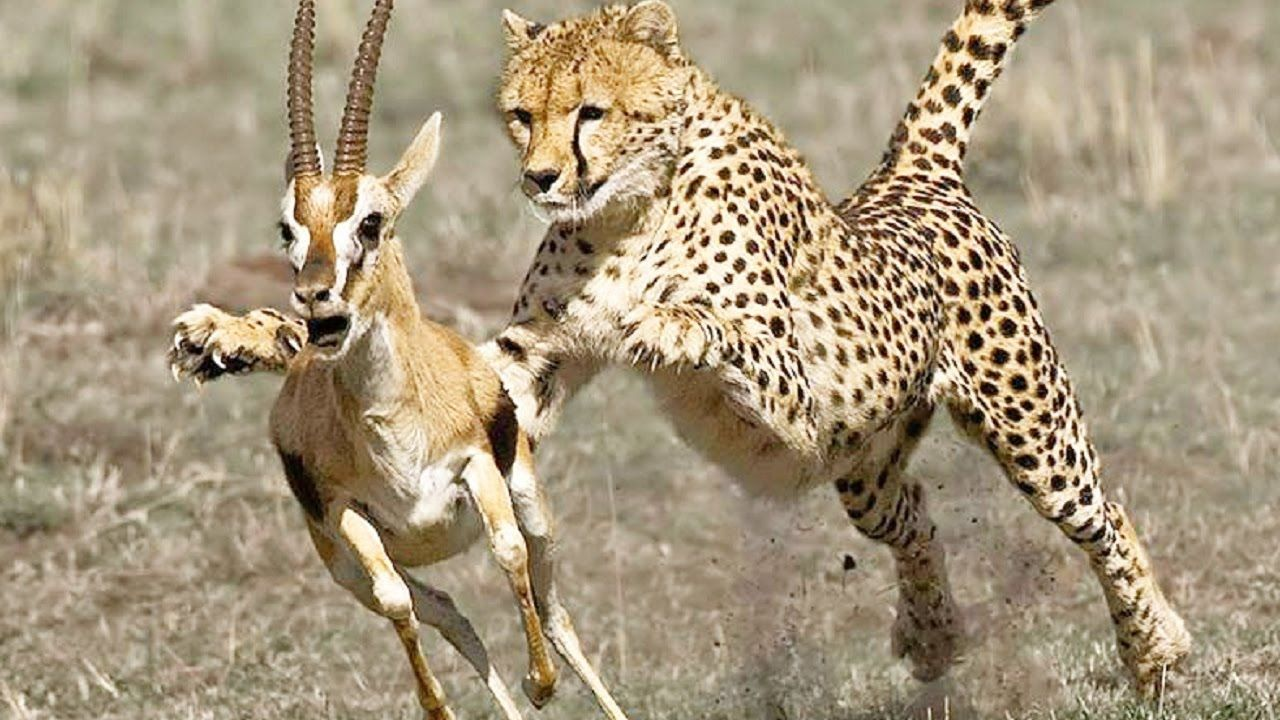 Cheetah Attacks and Kills Deer, Crocodile, Ostrich Too