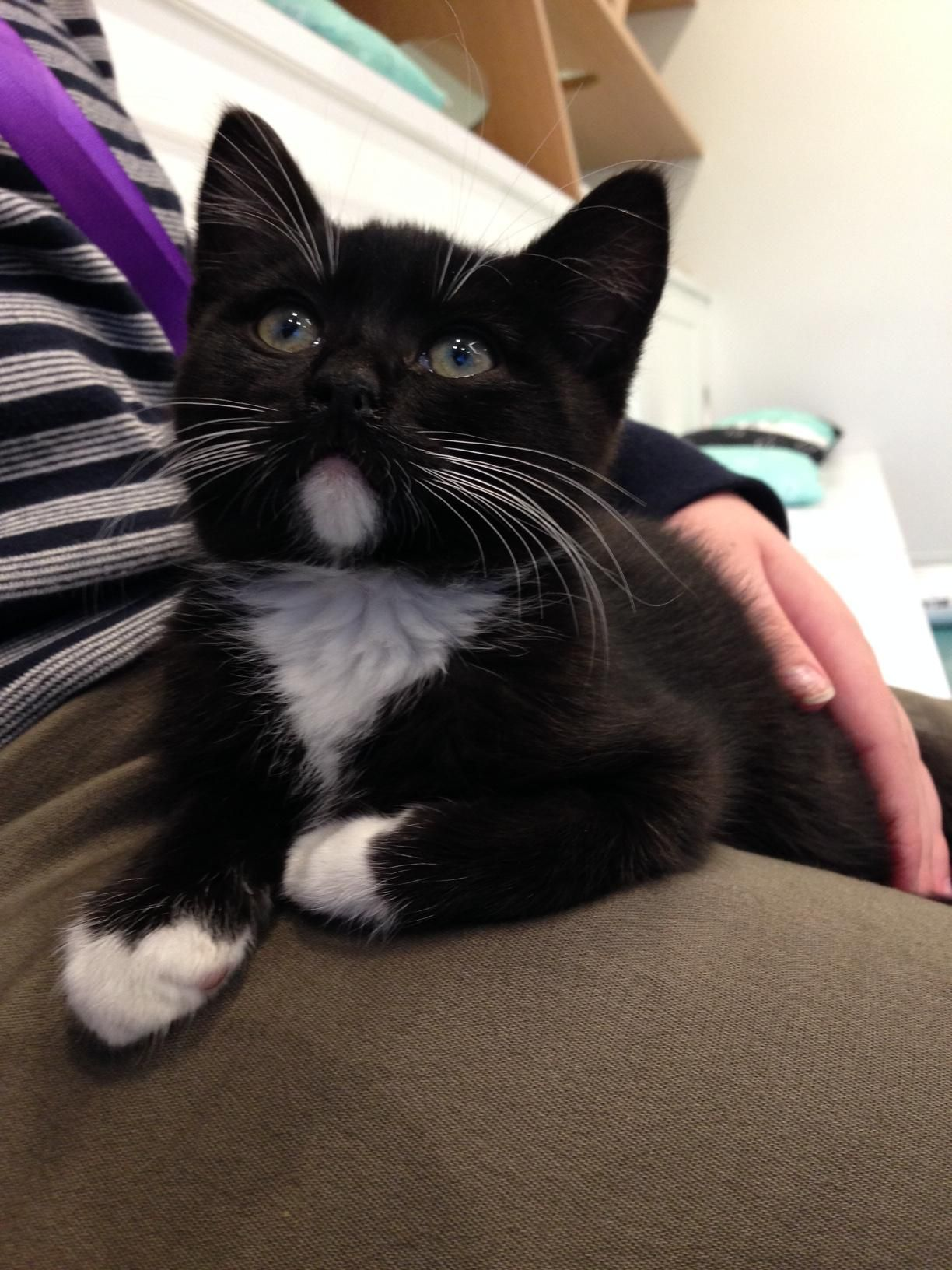 I Went To A Cat Cafe Today I Met This Little Cutie He Walked Right Into My Lap And Started Purring Cats Purring Cat Crazy Cats Gorgeous Cats