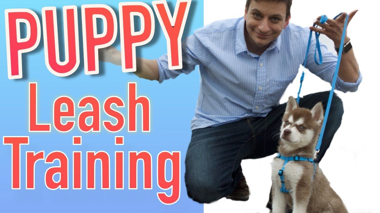 How To Train Your New Puppy To Walk On Leash Dog Training New