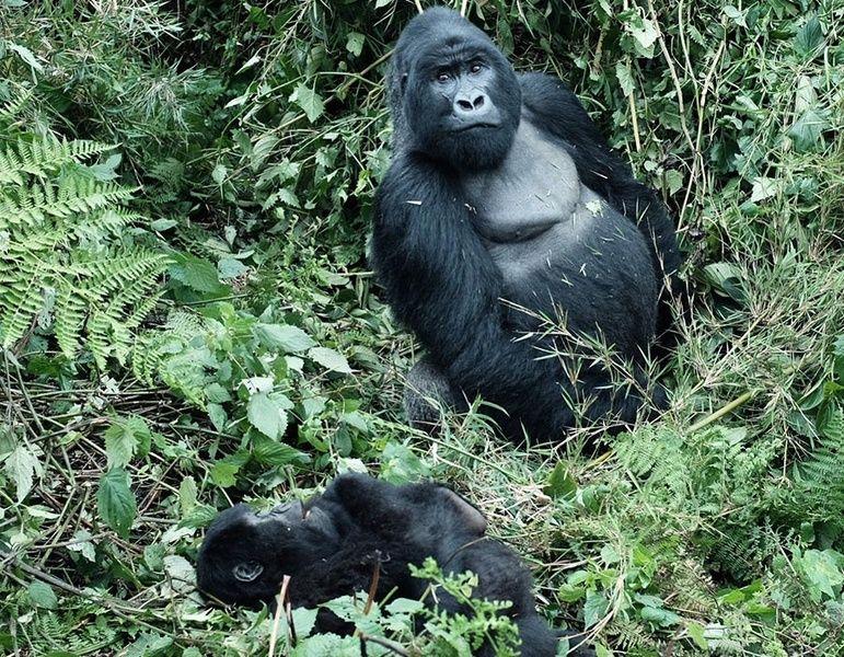 Gorilla family   Gorilla trekking, Baby gorillas, Africa