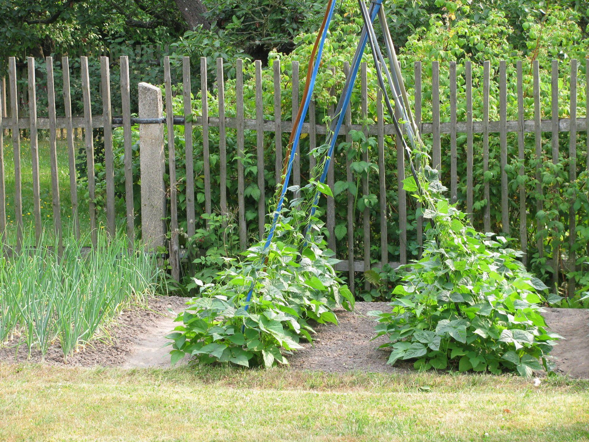 Stangenbohnen Phaseolus Vulgaris Garden Arch Plants Outdoor Structures
