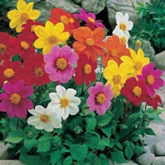 Large Packet 500 Seeds Bravo Mixed Flower Brachyscome