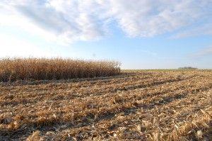 field corn half harvested on the Martz Family Farm