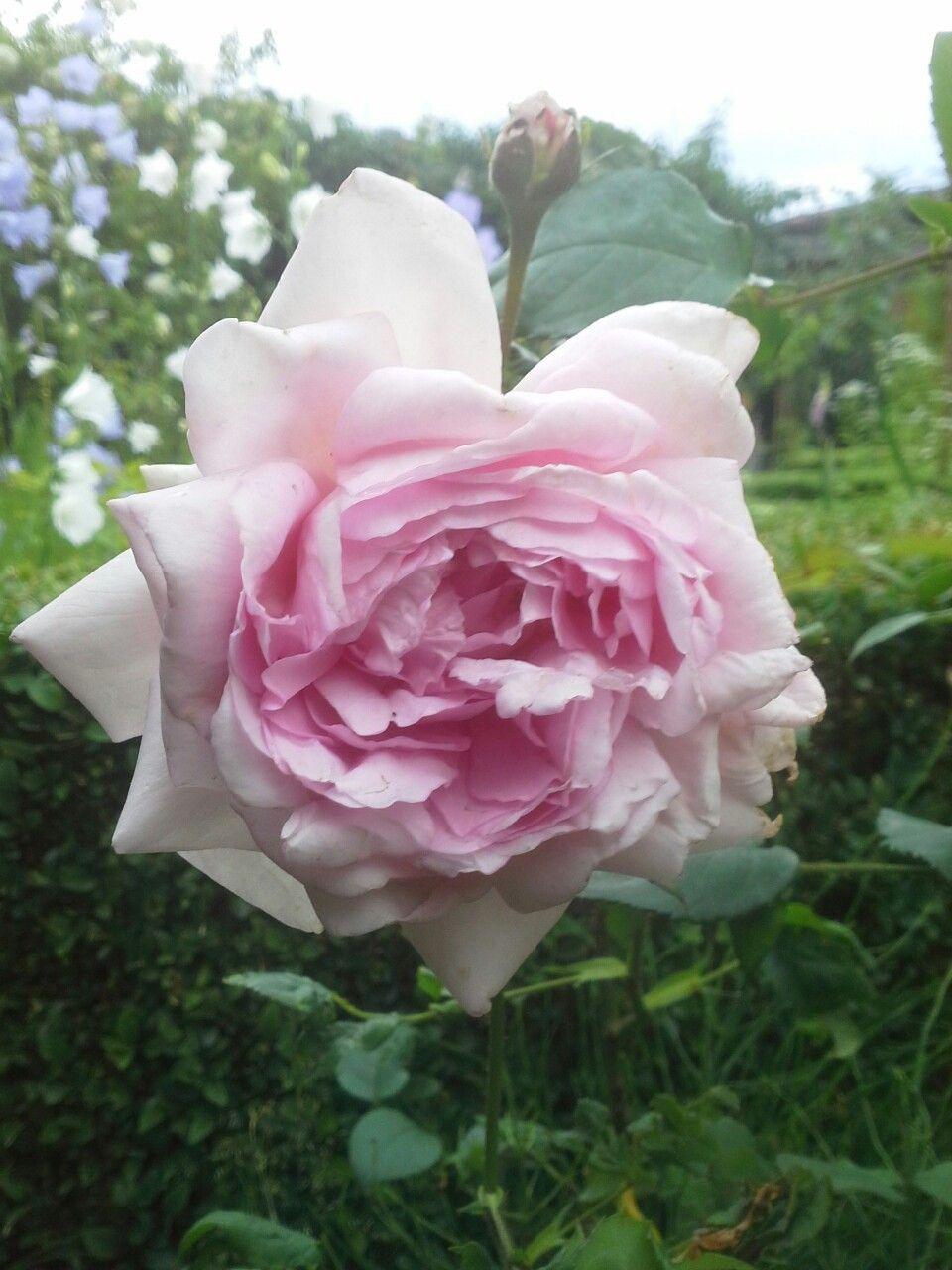 Rosa Sharifa Asma, is een struik roos van David Austin.  Wij hebben hem aangeplant in 2000.