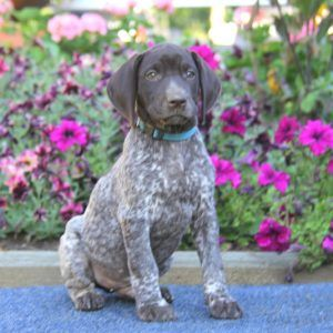 German Shorthaired Pointer Puppies For Sale German Shorthaired