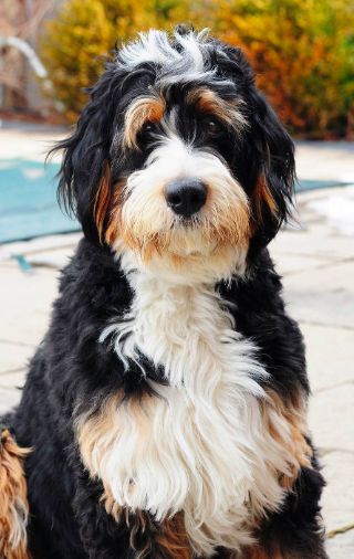 Have You Been Thinking About Adopting A Bernedoodle This Is