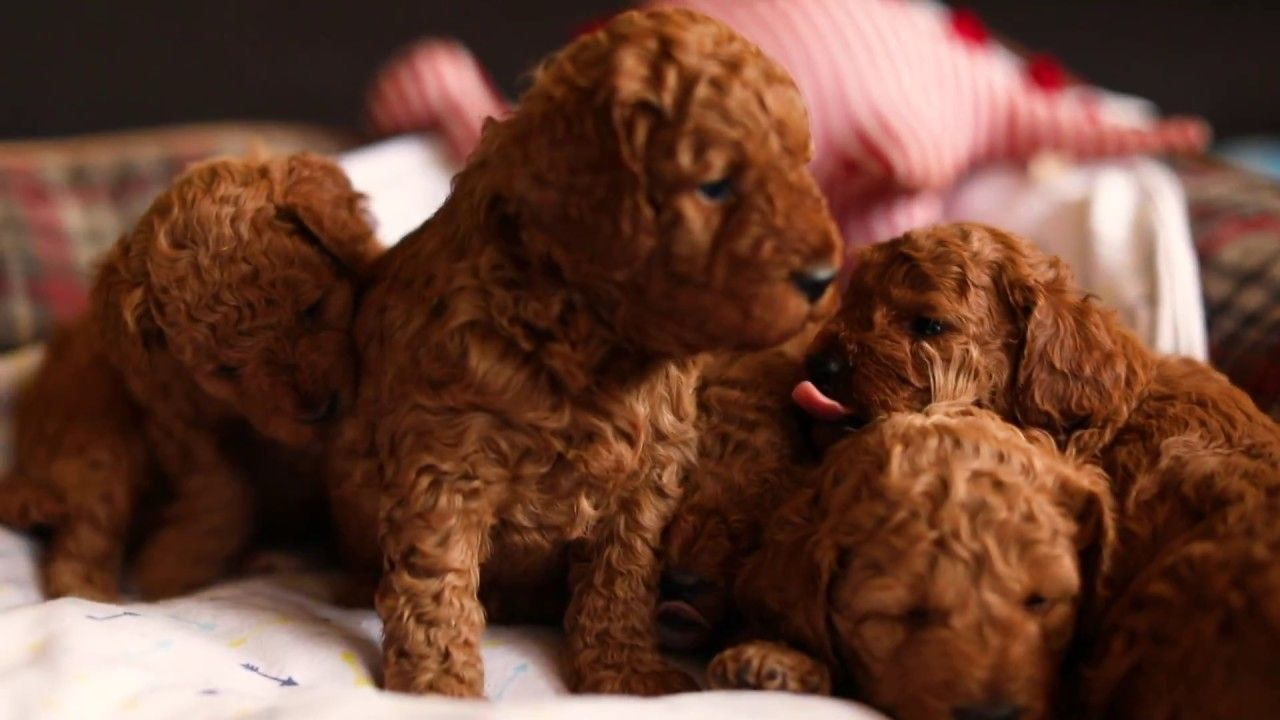 Cavoodle Puppies For Sale Sydney 4 Weeks Old Cavapoo Puppy Breeder Cavapoo Puppies Puppies For Sale Puppies
