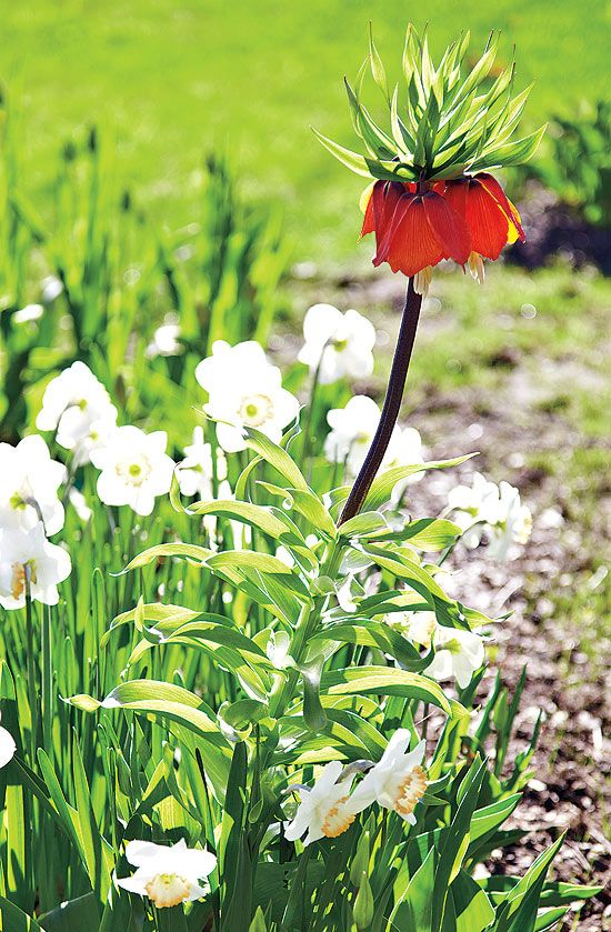 A passion for springflowering bulbs Show & tell Crown