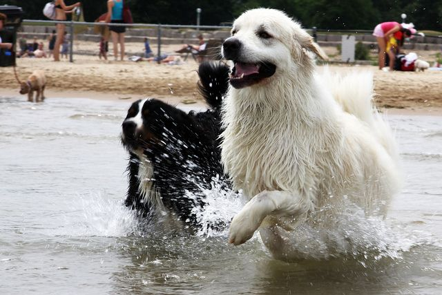 Opus And Duncan Running Through Wave Mountain Dogs Beautiful