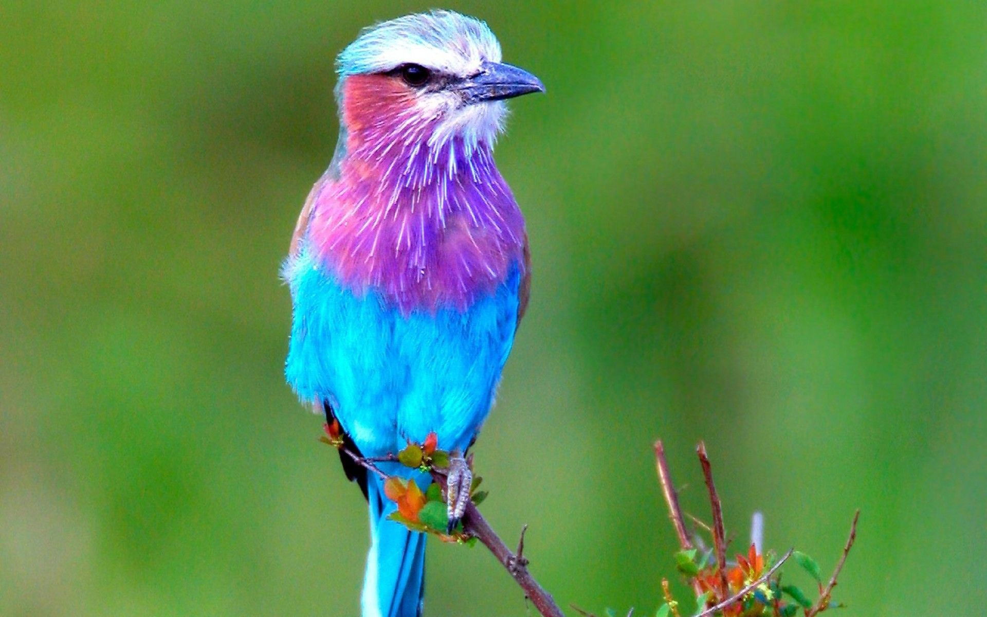 Lilac Breated Roller - Lilac breasted rollers are one of the most beautiful colored birds in the world. Description from pinterest.com. I searched for this on bing.com/images