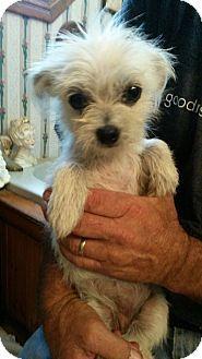 Hammonton Nj Maltese Shih Tzu Mix Meet Bitsy A Puppy For