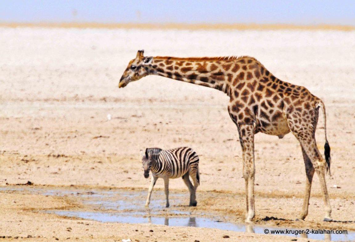 Giraffe And Zebra Friends