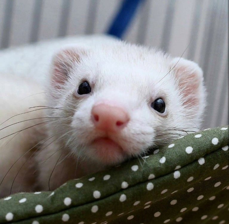 What a sweet face Ferret