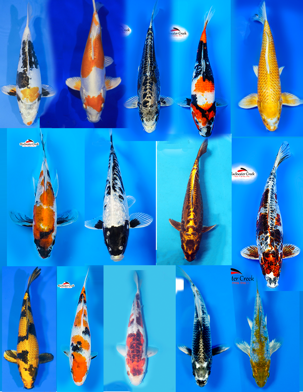 Ultimate Collection Call For Price In 2020 Koi Fish For Sale Koi Fish For Sale