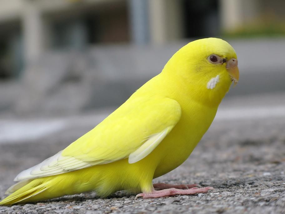 Escaped Yellow Lutino Female Budgie in Texas   Yellow parakeet ...