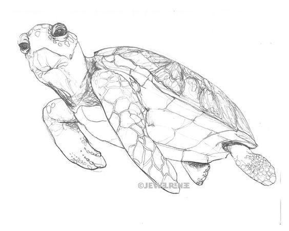 Turtle Line Drawing Tattoo : Jewel renee illustration sea turtle drawing realistic