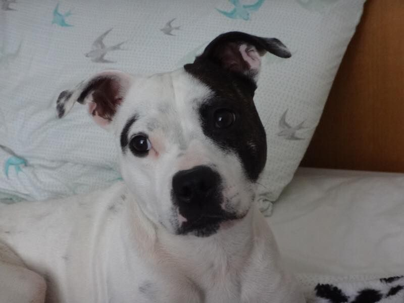 Sarah King and Paige - still looking for her forever home with staffierescue.co.uk