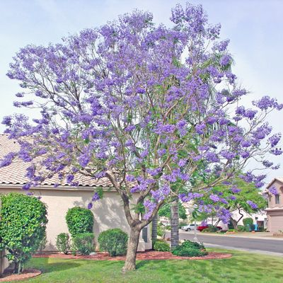 This Is Actually A Front Yard Idea But These Are My Favorite Phoenix Trees I Think It Would Look Beautiful Jacaranda Tree Flowering Trees Arizona Backyard
