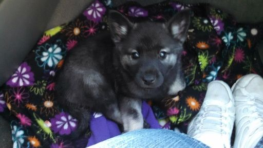 Litter Of 6 Norwegian Elkhound Puppies For Sale In Oklahoma City
