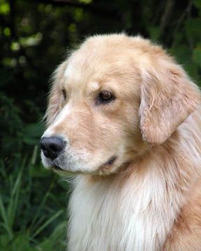 Golden Golden Retriever Dogs