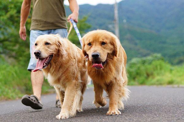 お散歩 の画像|ゴールデンレトリバー☆チェリーとゆずとファジーな関係