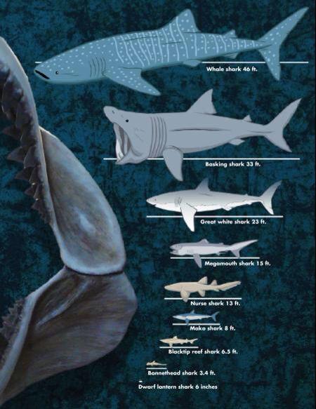Blue whale size vs whale shark