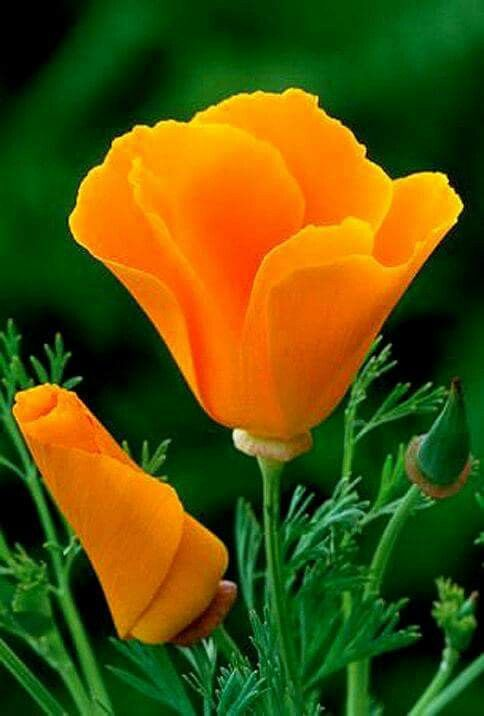 Golden poppy californias state flower flowers pinterest golden poppy californias state flower mightylinksfo