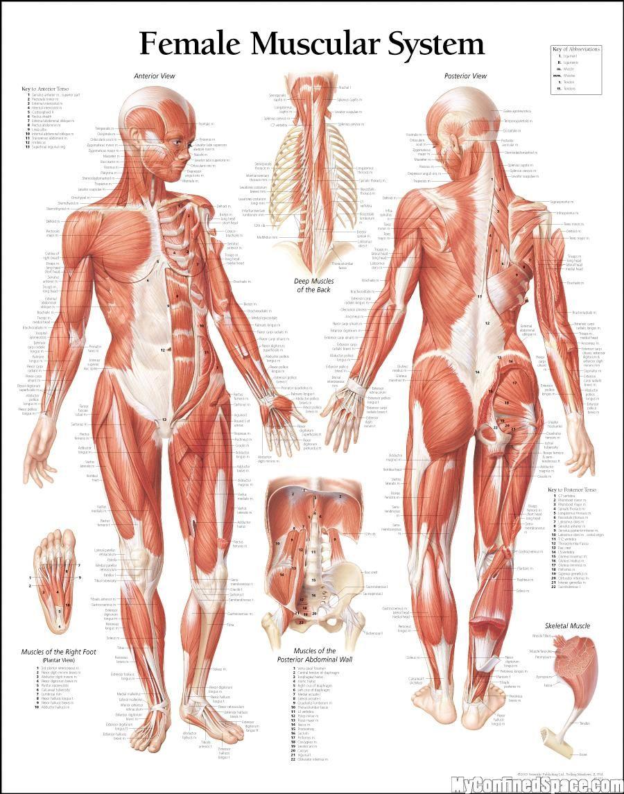 Pin de julio araujo en anatomia femenina en 2018   Pinterest ...