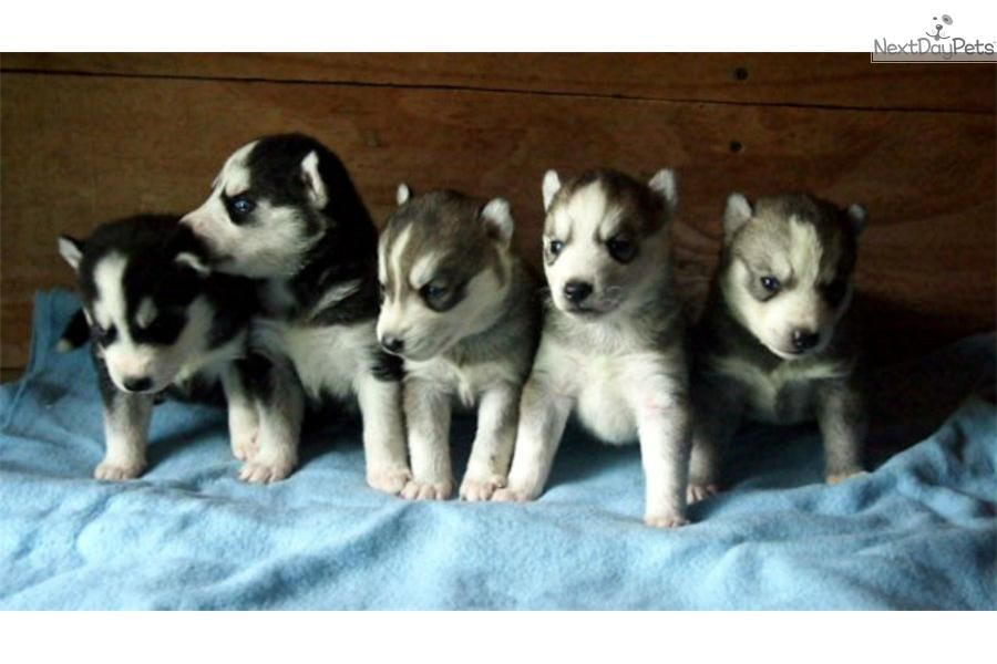 Meet M F Blue Eyes A Cute Siberian Husky Puppy For Sale For 500