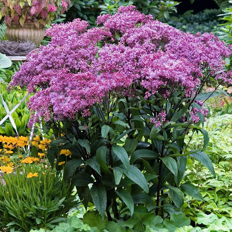 A great choice for moist, shady gardens, this big plant forms a large canopy of leaves and sends up bright yellow flower spikes in the middle of summer. A hummingbird favorite. (Ligularia stenocephala)