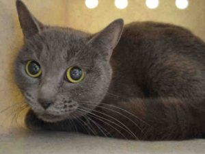 PATRIOT – A1103060 - OWNER HOSPITALIZED - 2Fs - 2yr old spayed female - - NEEDS HOME!