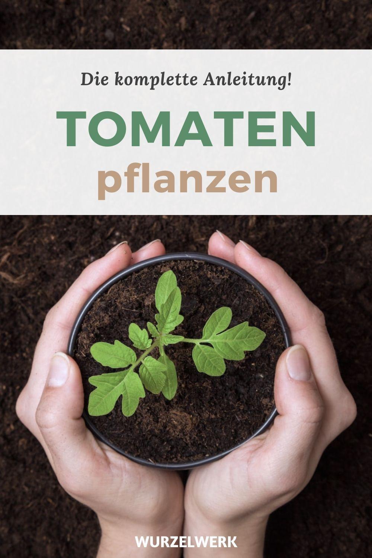 Tomaten pflanzen – die komplette Anleitung!