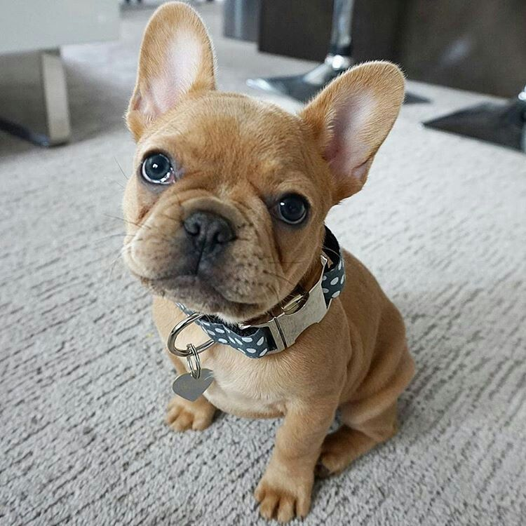 Kylo The Super Cute French Bulldog Puppy Hello Kylo
