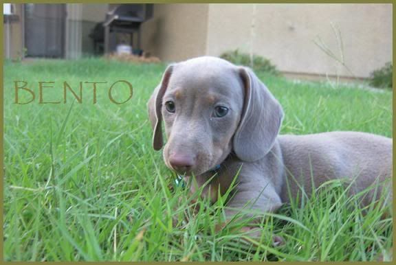 About Dachshund Puppies Dachshund Dog Dachshund Puppies For Sale