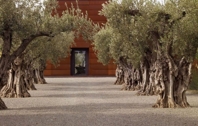 olive trees mediterranean landscaping garden design andrea cochran landscape architecture san francisco ca