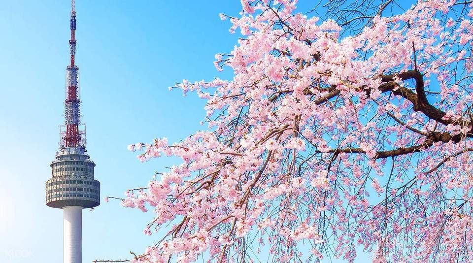 Top 5 Cherry Blossom Festivals In South Korea In 2017 Cherry Blossom Festival Cherry Blossom Cherry Blossom Season
