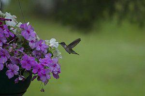 Hummingbirds Photograph - Hummingbird Visitor by Hella Buchheim