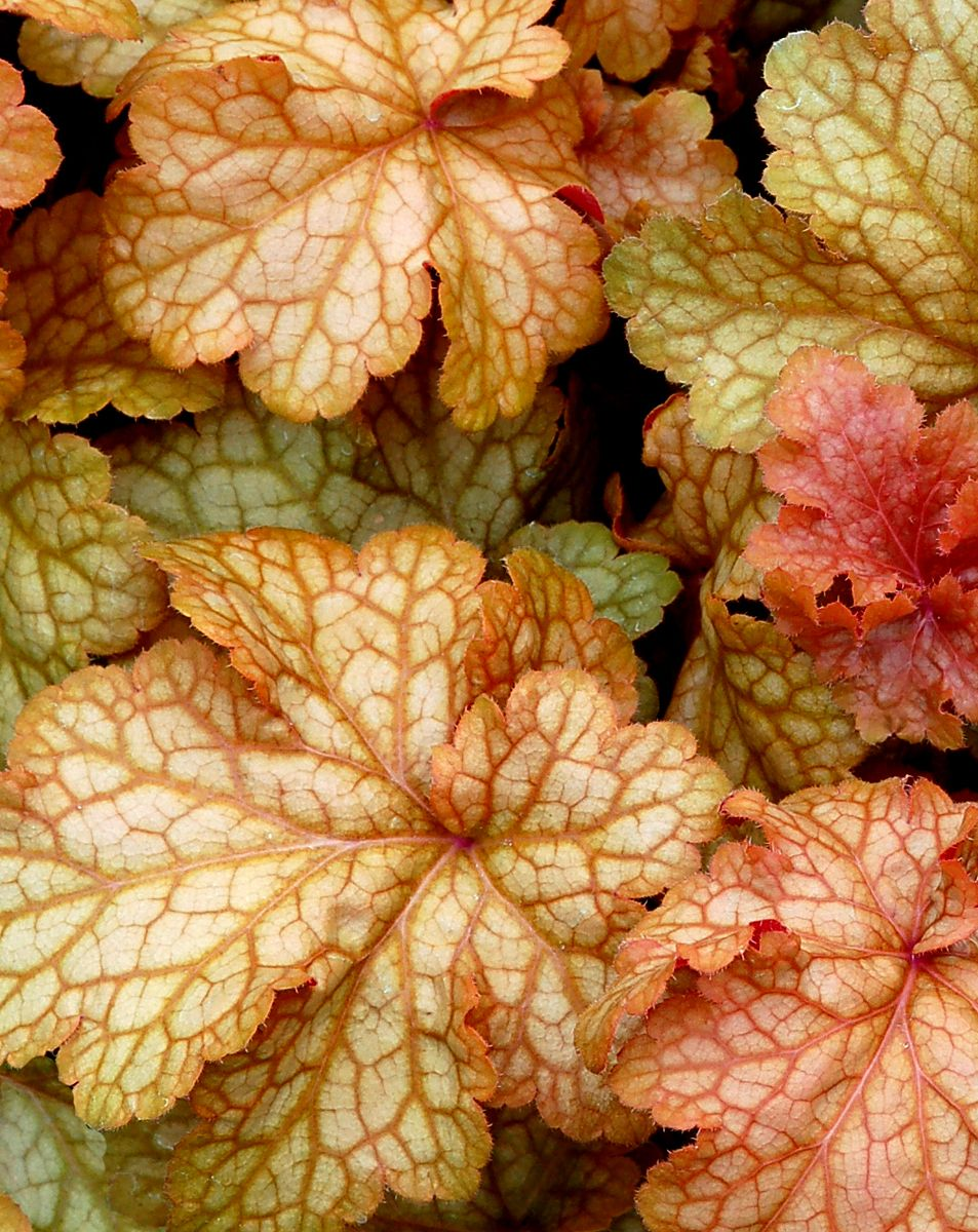 Heuchera Midas Touch  Terra Nova variety developed for gardens and patios in the Southeast.  Thrives in Zones 4-9.