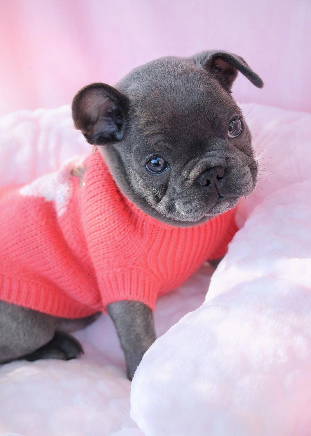 French Bulldog Playful and Smart (With images) French